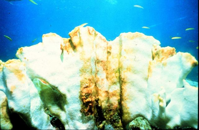 Corals throughout the Caribbean are bleaching (casting out their algae). Picture