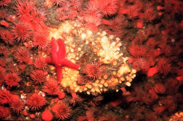 Starfish and anemones in a cold water rocky community. Picture