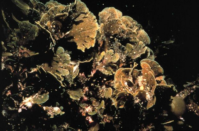 Brown algae on a temperate Carolina reef can survive a wide temperature range Picture