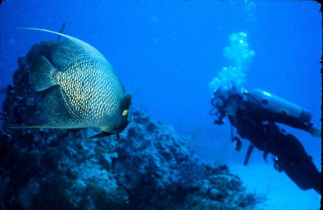 French angelfish looks larger than observing diver. Picture
