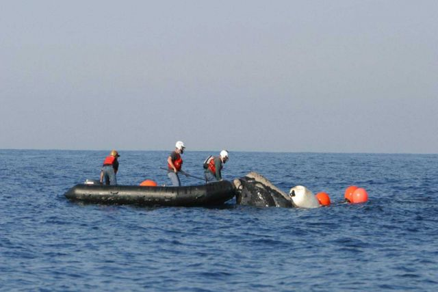 Personnel of the NOAA Fisheries Large Whale Disentanglement Program helping disentangle an endangered North Atlantic Right Whale Picture