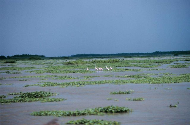 Roseate spoonbills wade in the emerging wetlands created by the restoration project at Big Island. Picture