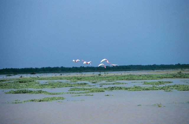 Roseate spoonbills in flight. Picture