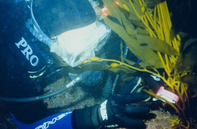 Giant kelp, an important fisheries habitat can grow as much as two feet a day in depths at up to 150 feet. Picture