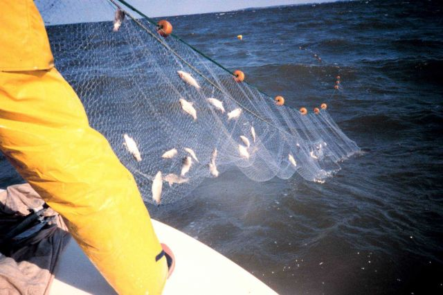 retrieving a gillnet from the water, the mesh is 1&1/2
