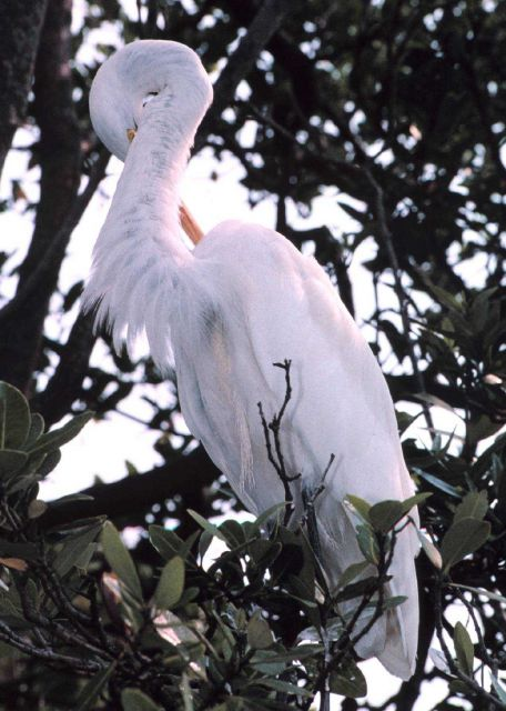 A Great Egret, Casmerodius albus, preens in a tree on an island in Tampa Bay Picture