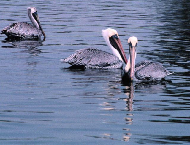 Three Brown Pelicans rest at the entrance to Maximo Park. Picture