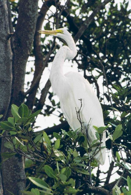 A Great Egret, Casmerodius albus, roosts in a tree. Picture