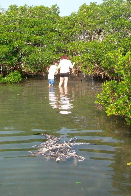 Volunteers hunt for discarded monofilament in the roots and branches of mangroves Picture