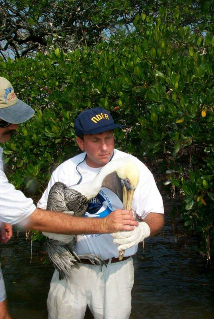 Scott Gudes cradles an injured pelican that was attached to mangroves by monofilament Picture