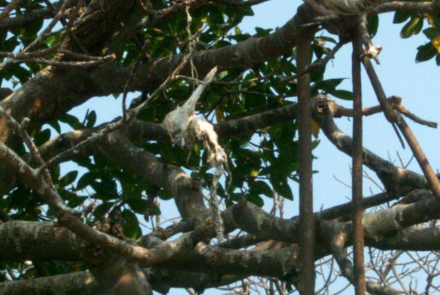 An unidentified bird skull hangs in the branches of a mangrove where it reminds volunteers of the importance of the clean-up Picture