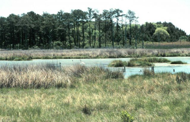 A high-marsh tide pool at Barren Island Picture