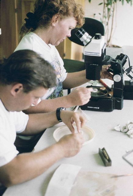 Two University of Rhode Island scientists examine American lobster juveniles before they are tagged and released onto the reefs located around Dutch H Picture