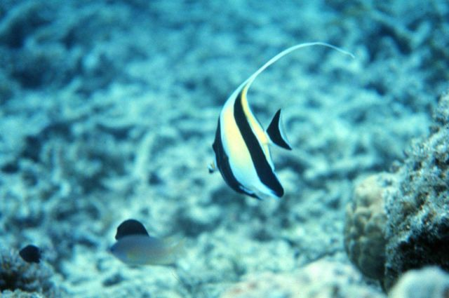 Zanclus canescens - Moorish Idol Picture