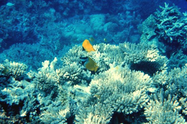 Forcipiger Longirostris is top fish - Foxface rabbitfish (Siganus vulpinis) is bottom fish Picture