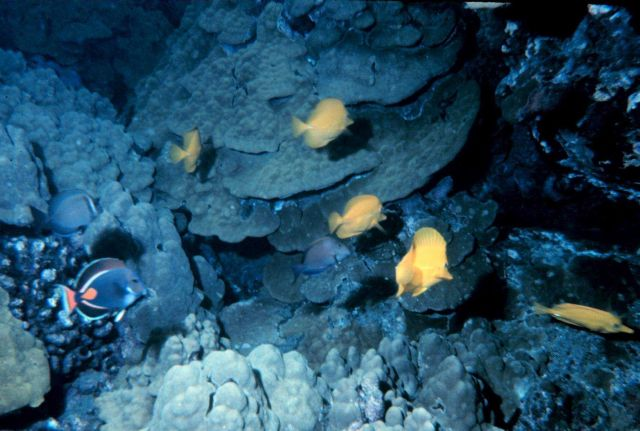 Acanthurus Achilles, Achilles Tang in lower left Zebrasoma Flavescens, Yellow Tangs; large Porites sp Picture