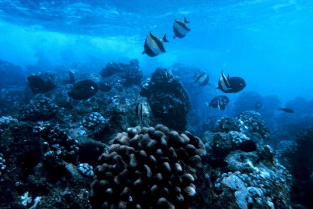 Zanclus Canescens - Moorish Idol, Acanthurus Achilles, Achilles Tang Other fish species and coral head of Porites lobatus in foreground Picture