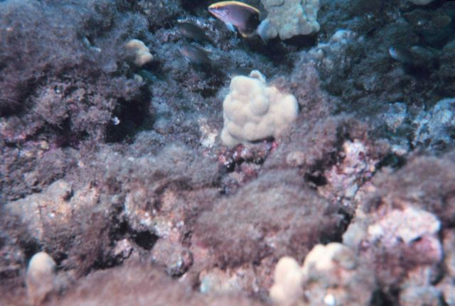 Pomacentrus sp.? Possibly a species of damselfish. Picture