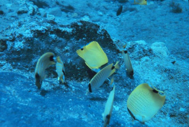 Species of butterflyfi feeding on damselfish eggs attached to substrate Picture