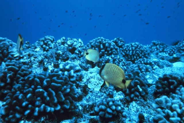 Chaetodon miliaris - butterfly fish over healthy Porites lobata coral reef. Picture