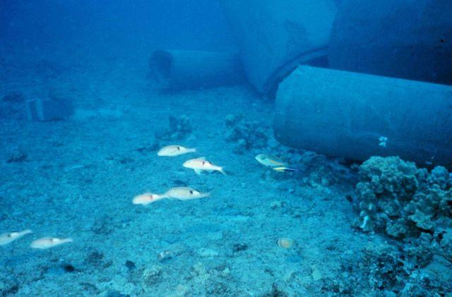 School of goatfish - Parupeneus pleurostigma. Picture