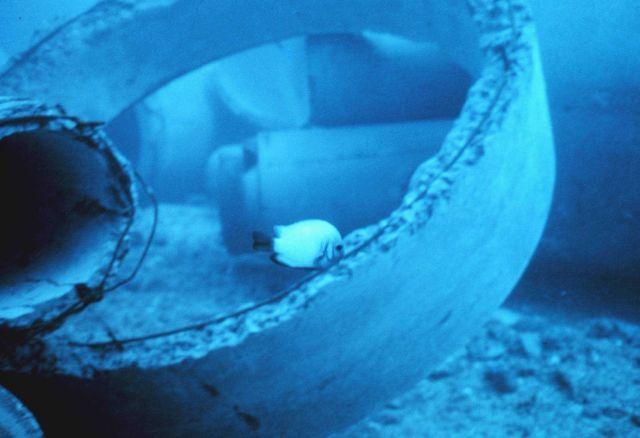 Dascyllus albisella -damselfish exploring new reef material. Picture