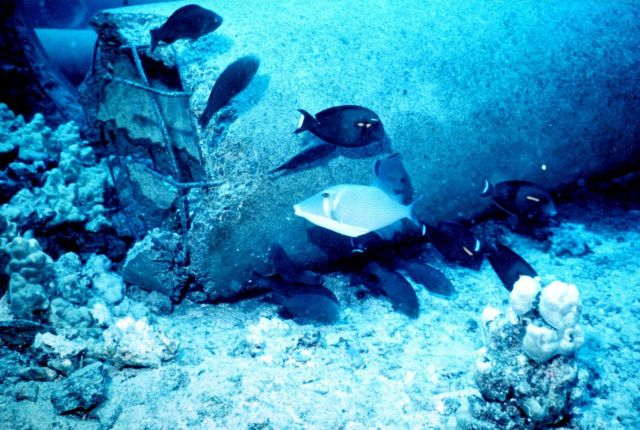 Surgeonfish - Acanthurus olivaceus - grazing on new reef material Picture