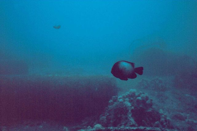 Dascylus albisella - damselfish. Picture