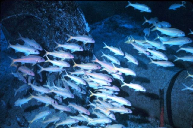Flash picture of goatfish, Mulloidichthys samoensis (Weke) taken at night. Picture