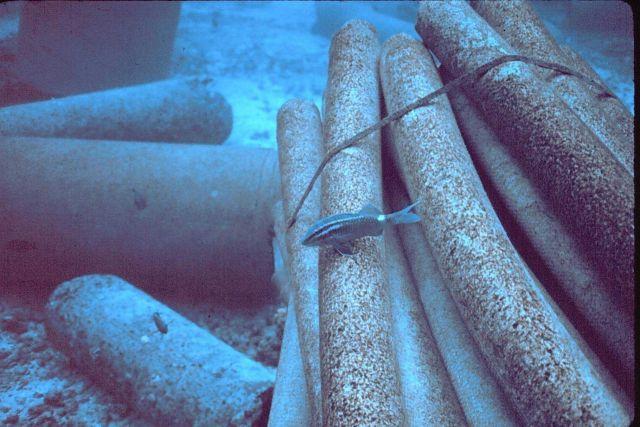 Goatfish, Parupeneus porphyreus Picture