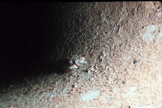 Scorpion fish, Dendrochirus brachypterus, on inside of concrete pipe Picture