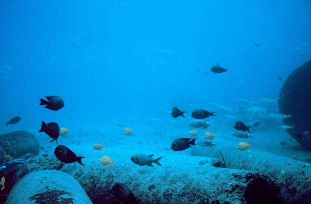 Mixed school of surgeon fish, Ctenochaetus striogosus, surgeon fish, Acanthurus olivaceus, goatfish, Mulloidichthys samoensis (Weke), goatfish Parapen Picture