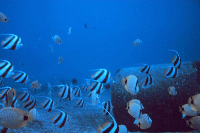 Mixed school of butterfly fishes, Chaetodon miliaris, Heniochus acuminatus. Picture
