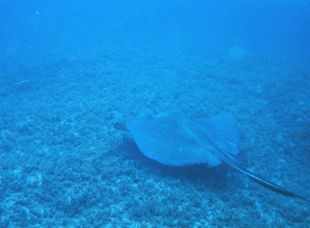 Large southern stingray off of Fort Lauderdale, Florida. Picture
