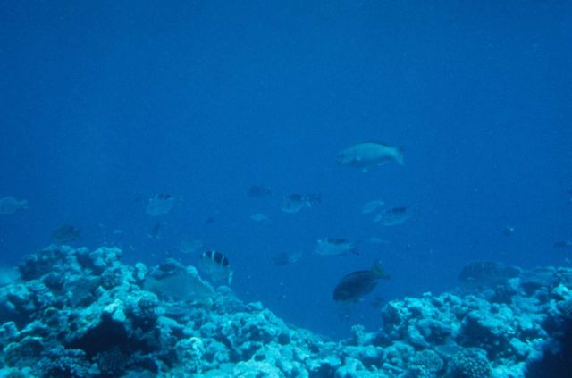 Emperor bigeye (Monotaxis grandoculis - Hawaiian name Mu) and mix of other reef fish. Picture