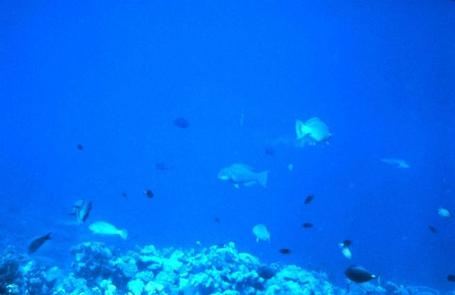 Reef scene with parrotfish in the center. Picture