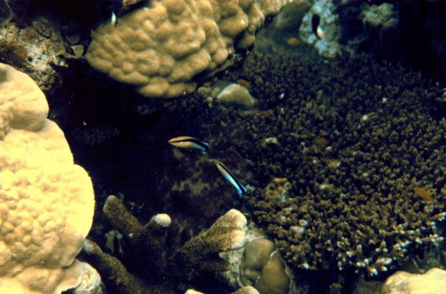 Bluestreak cleaner wrasse Picture