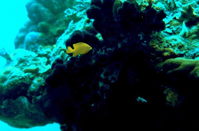 Yellow chromis (Chromis analis) and soft coral Picture