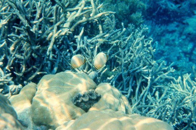Redfin butterflyfish (Chaetodon lunulatus) Picture