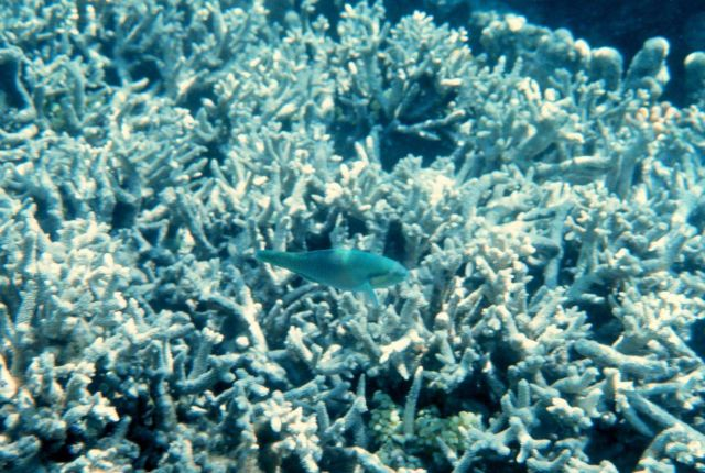 Parrotfish and coral Picture