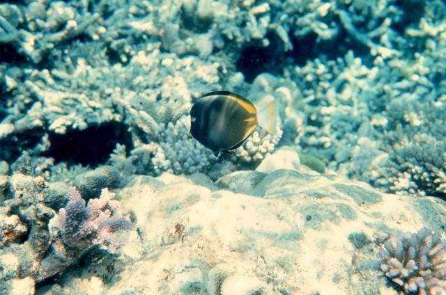 Whitecheek surgeonfish (Acanthurus nigricans) and coral Picture