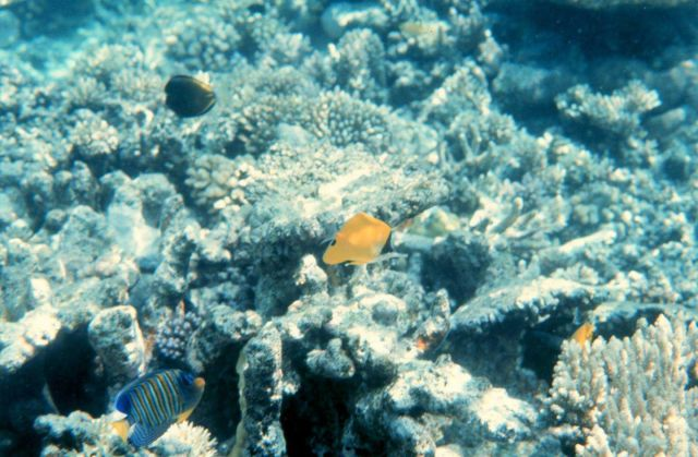 Forcipiger Longirostris in center and regal angelfish (Pygoplites diacanthus) Picture