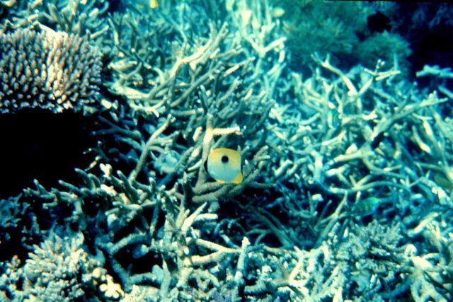 Teardrop butterflyfish (Chaetodon unimaculatus) Picture