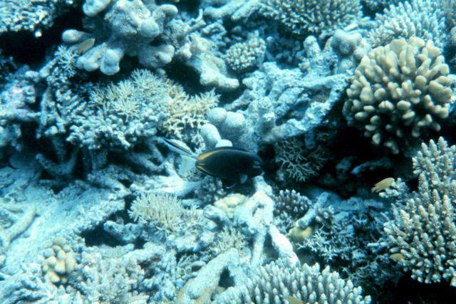 Whitecheek surgeonfish (Acanthurus nigricans) Picture