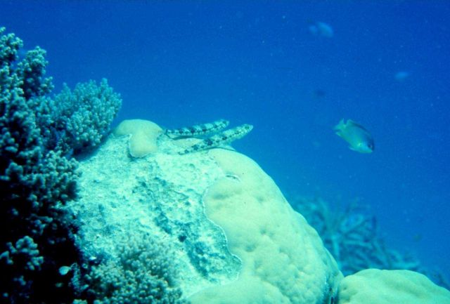 A lizardfish couple gazing at the surface wondering what is on the other side Picture