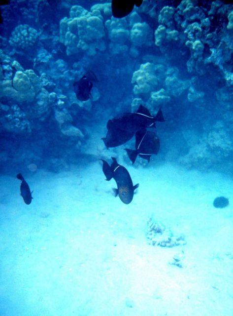 Black triggerfish Picture