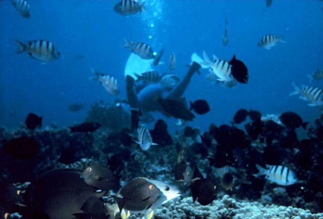 Maomao sergeant fish (Abudefduf abdominalis) Picture