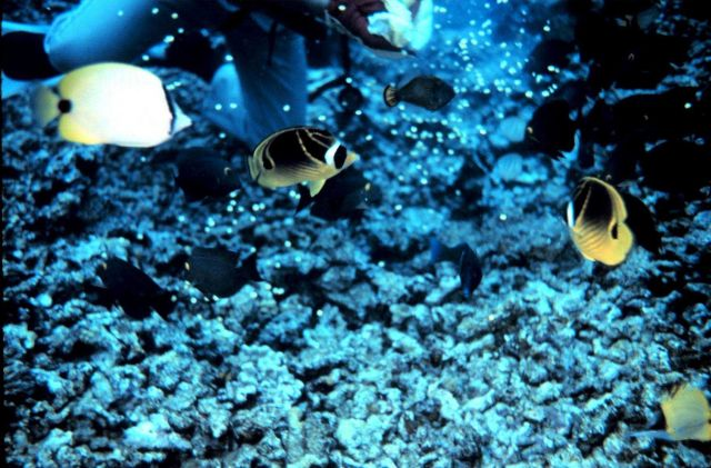 A lemon butterflyfish to the upper left and two raccoon butterflyfish Picture