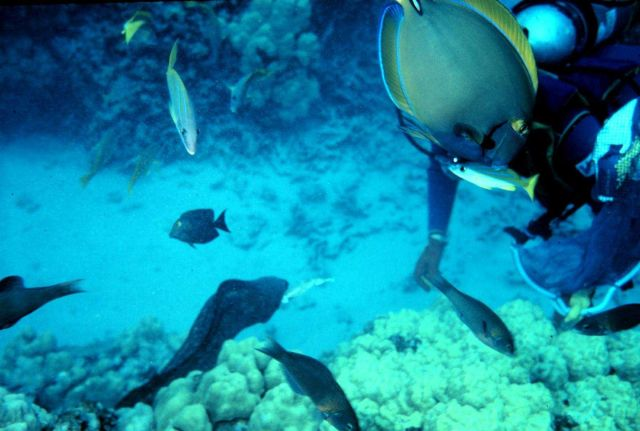 Diver feeding semi-tame moray eel with yellowfin surgeonfish obscuring diver's head. Picture