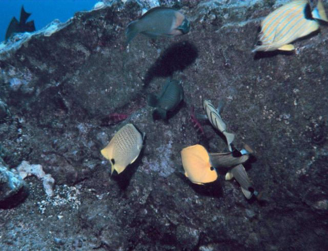Variety of reef fish including bluestriped butterflyfish in upper right. Picture